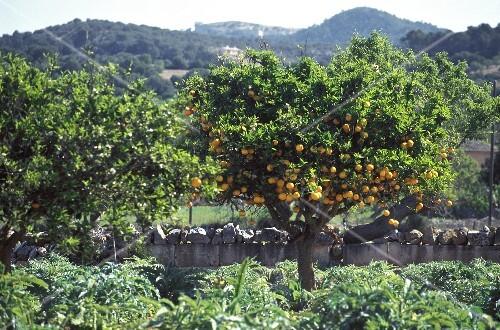 An Orange Grove