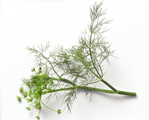 A sprig of dill with flowers