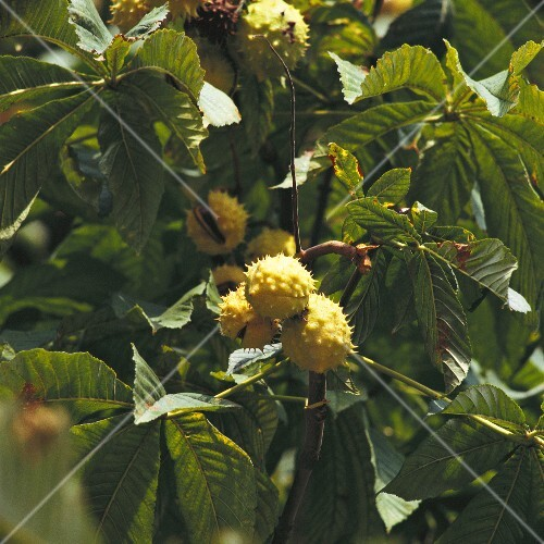 Horse chestnuts on the tree (close-up)
