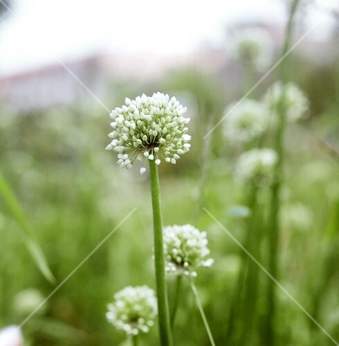 Chive Plants in the Garden