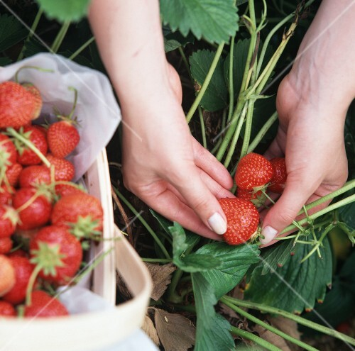 A Person Picking Fresh Strawberries