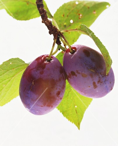A Plum Hanging from a Branch