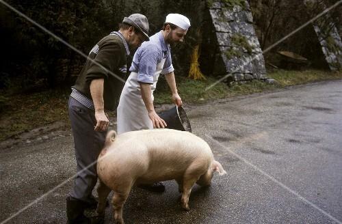 Schlachten Von Schweinen