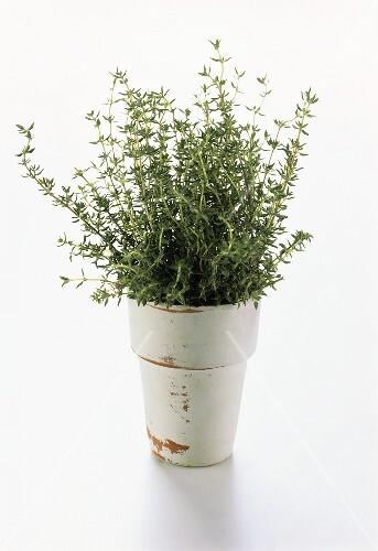 Pot Full of Fresh Thyme