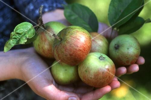 Hands holding freshly picked Gravensteiner apples