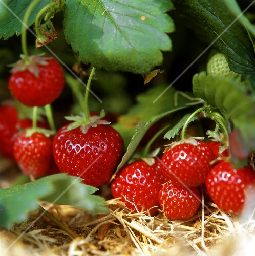 Ripe strawberries on the plant