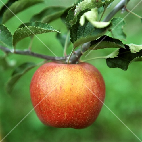 An apple on the tree (close-up)