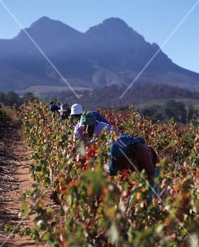 Lesehelfer bei der Weinlese, Kanonkop, Stellenbosch, Afrika