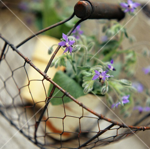 Flowering borage plants in a metal basket