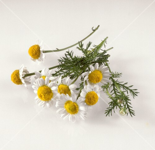 Camomile flowers on white background