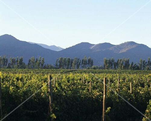 Vineyard in Valle del Maipo, Chile