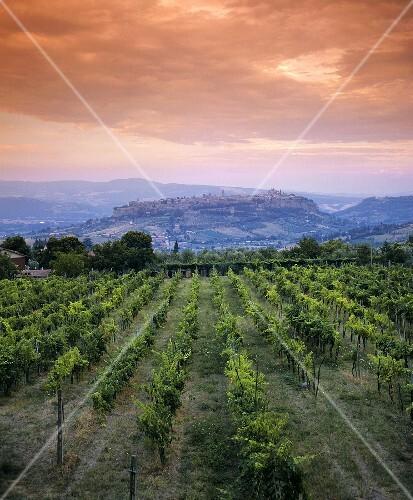 Wine-growing near Orvieto in Umbria, Italy