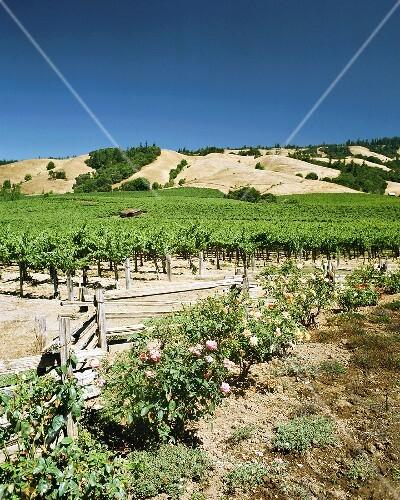 Vineyards in Anderson Valley, Mendocino, California