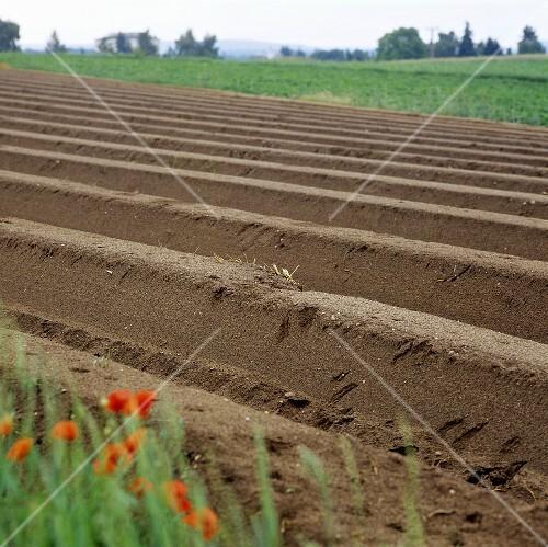 Asparagus field near Adelsberg in Bavaria