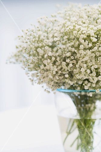 Gypsophila in glass vase