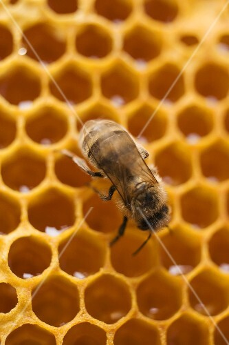 Honeycomb with bee (close-up)