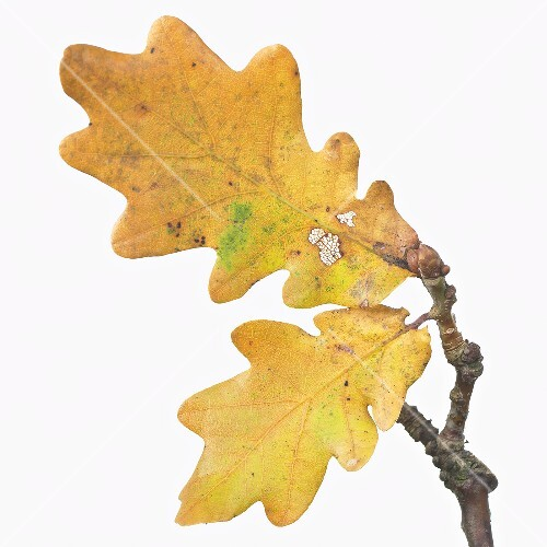 Oak leaves with autumn tints