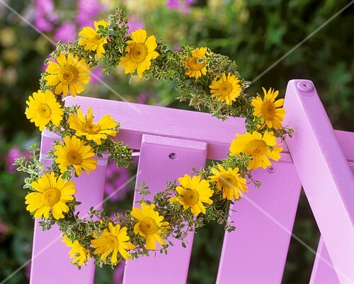 Wreath of golden marguerite & lemon thyme on pink chair back