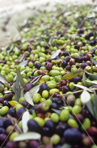 Olive harvest (Tenuta San Vito, Tuscany, Italy)