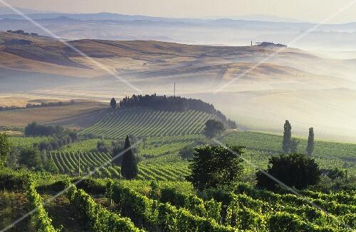 Vineyards around Montalcino,  Tuscany,  Italy