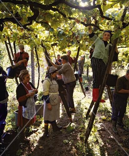 Grape picking (pergola trained vines), Amarant, Minho, Portugal