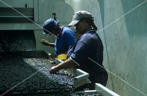Aussortieren von Weintrauben, Vriesenhof, Stellenbosch, Südafrika