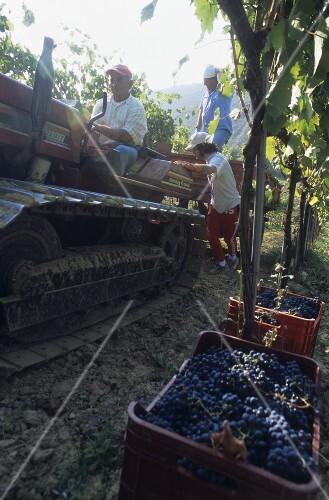 Picking Montepulciano grapes, Bruno Nicodemi estate, Abruzzo