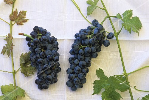 Carmenère (l) & Merlot (r), most important grape varieties in Chile
