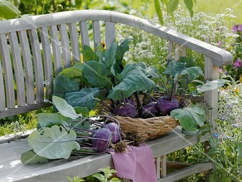 Freshly picked purple kohrabi on garden seat