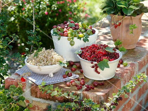 Bowls of red- and white currants and gooseberries, strawberry plant