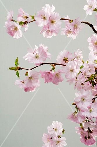 Ornamental cherry (Prunus sargentii 'Accolade')