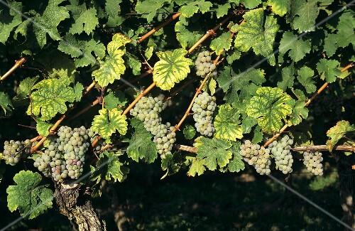 Riesling grapes hanging on the vine, espalier-type training