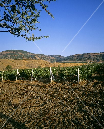 Vineyards of the Solnechnaya Dolina Winery, Ukraine