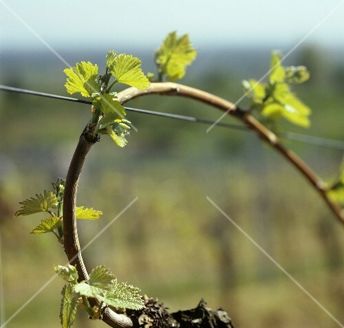 Shoots on a vine in spring