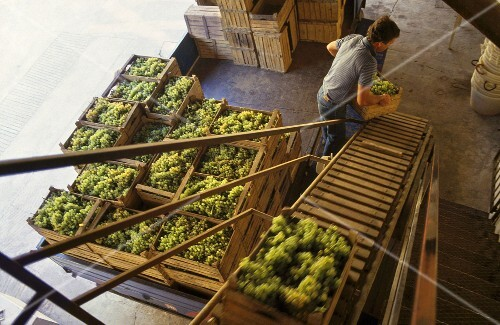 Crates of freshly picked grapes, Allegrini Winery, Fumane, Italy