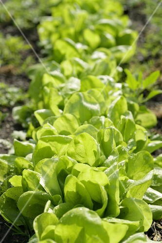 Loose-leaf lettuce in the field