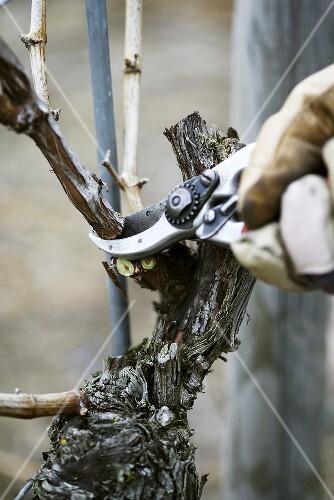 Pruning a vine