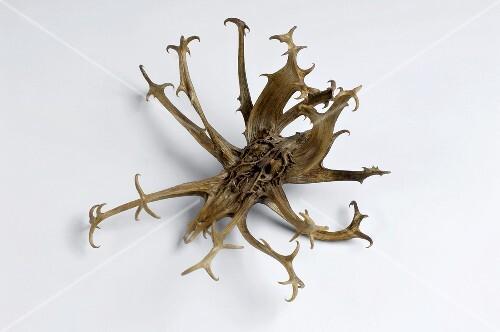 Afrikanische Teufelskralle (Harpagophytum procumbens)