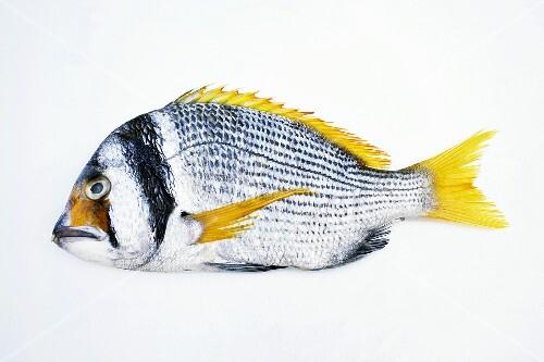 A yellowfin seabream