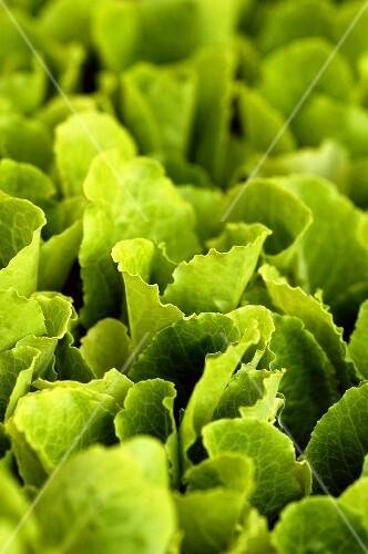 Loose-leaf lettuce