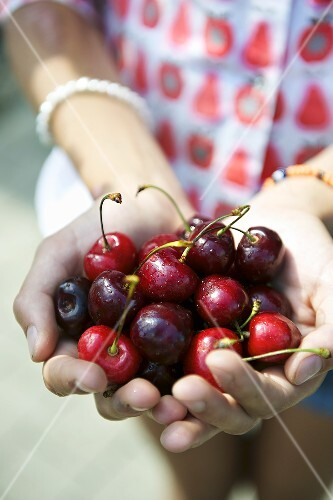 Hands holding fresh cherries