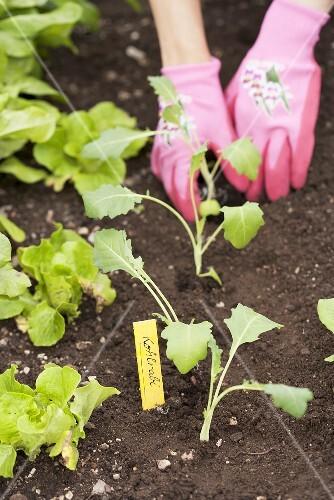 Kohlrabi seedlings in a vegetable patch