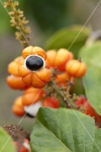 Guarana (paullinia cupana) on the plant