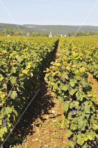 Vines in the sun: Pernand Vergelesses