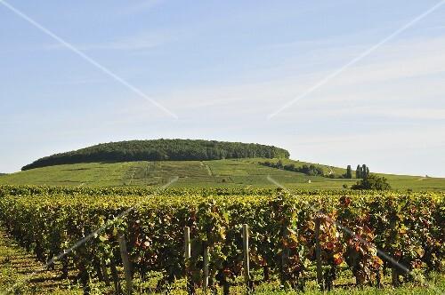 Grape growing region Pernand-Vergelesses
