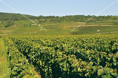 Vineyards in the grape growing region of Côte de Beaune
