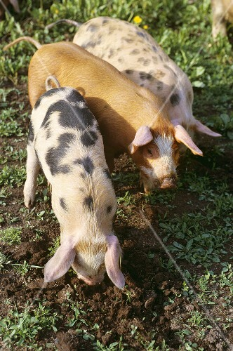 Three pigs looking for truffles (South Tyrol)