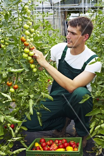 A famer in a green house harvest ripe tomatoes
