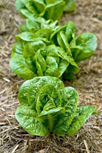 Lettuce plants