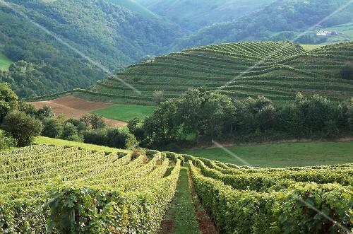 Vineyard in Irouléguy (Aquitaine, France)